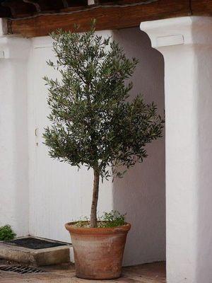 Olive trees Lubera