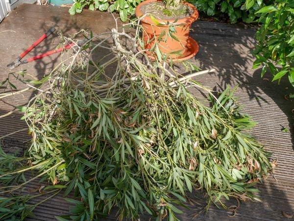 Expertentipps Für Den Oleanderschnitt