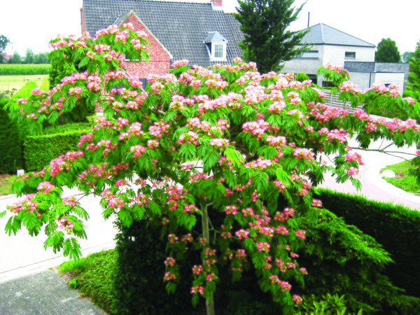 Seidenbaum 'Tropical Dream' (Albizia julibrissin 'Tropical Dream')