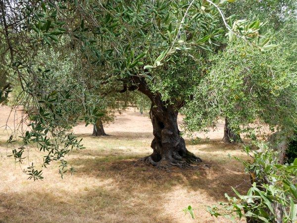 Olivenbaum kaufen - darauf müsst Ihr beim Olivenbaumkauf achten