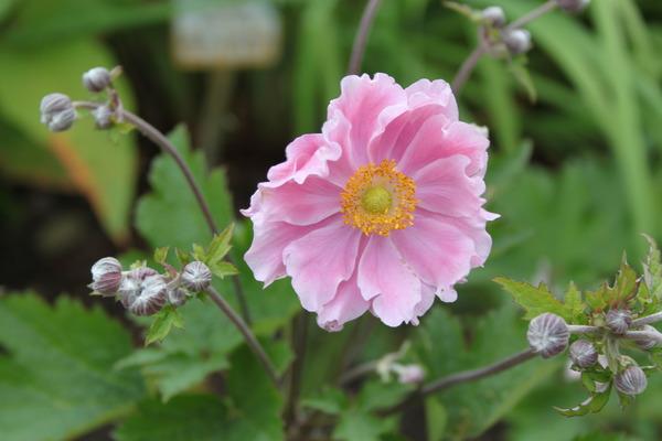 Anemone Hupehensis September Charm Lubera Ch