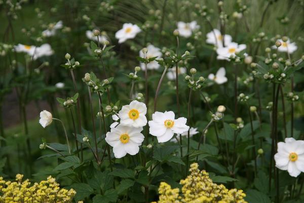 Anemone X Japonica Honorine Jobert Lubera De
