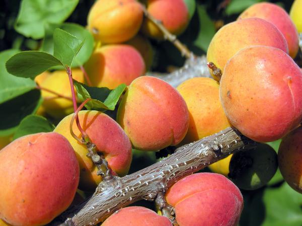aprikose orangered prunus armeniaca aus der baumschule kaufen. Black Bedroom Furniture Sets. Home Design Ideas