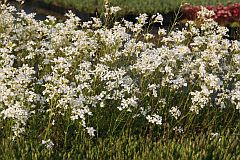 Arabis procurrens 'Glacier' (gen)