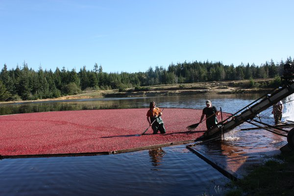 Cranberry Ernte in USA Lubera