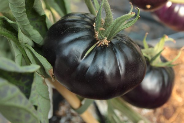 Heirloom Tomate 'Black Beauty' (Solanum lycopersicum)