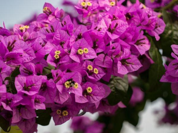 Die Bougainvillea überwintern - wichtig Tipps für die ...