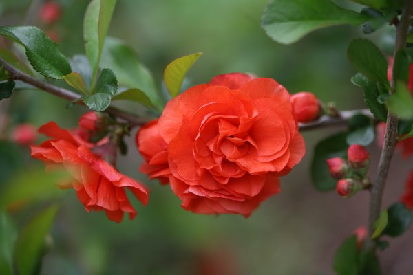 Chinesische Zierquitte Double Take 'Orange Storm'® - Proven Winners (Chaenomeles Orange Storm®)