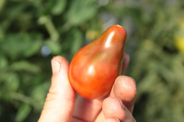 Heirloom Tomate 'Chocolate Pear' (Solanum lycopersicum)