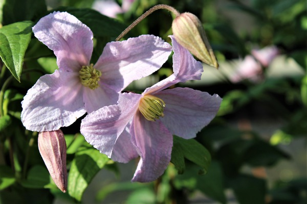 Clematis, Waldrebe 'Entel' in Hellrosa