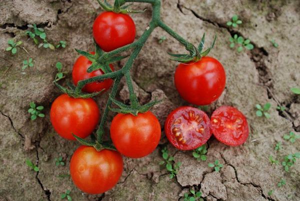 Klettergerüst Tomate : Wildtomate rote murmel lubera
