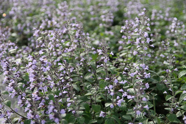 calamintha nepeta blue cloud steinquendel