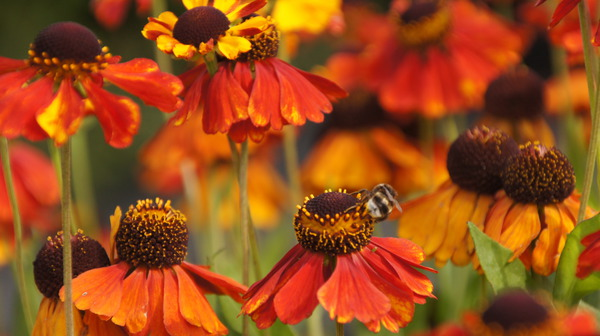 Helenium x cult. sahins Early Flowerer Lubera
