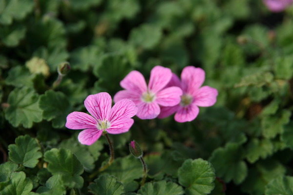 Erodium x variabile Bishop Lubera