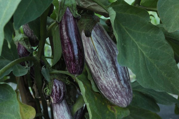Aubergine Edirne Purple Striped