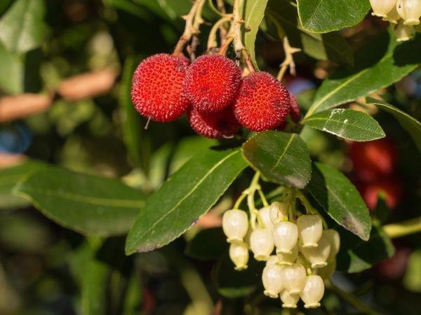 winterharter ERDBEERBAUM liefert das ganze Jahr Früchte