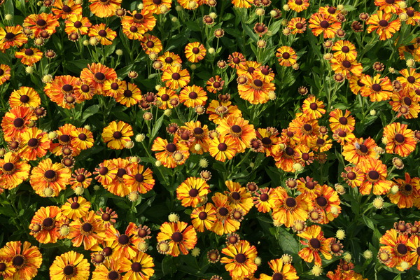 Helenium x cult. 'Flamenco'