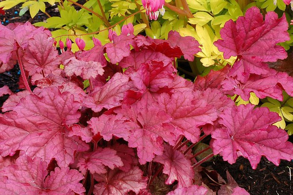Heuchera villosa 'Berry Smoothie' -S-