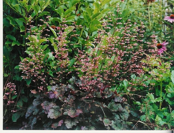 Heuchera x micrantha 'Palace Purple' (gen)
