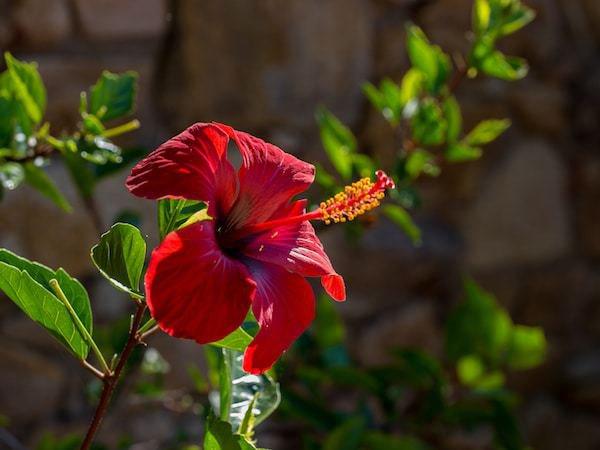 Hibiskus überwintern - Winterpflege für die Chinesische Rose