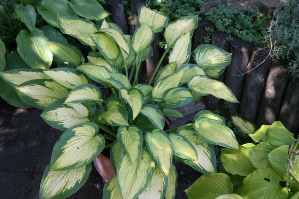 Hosta x cult. 'Pauls Glory'