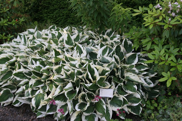 Hosta x fortunei 'Patriot'