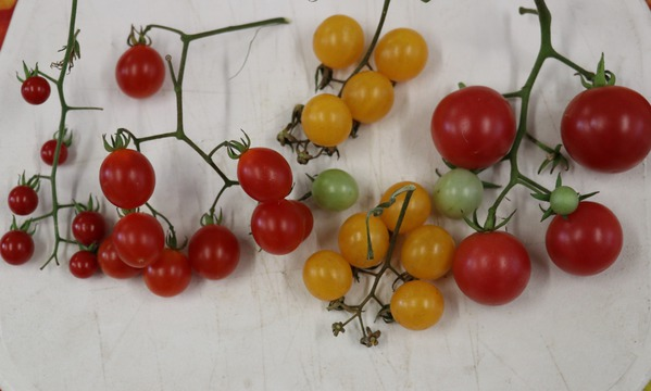 Klettergerüst Tomate : Wildtomate golden currant: lubera.de