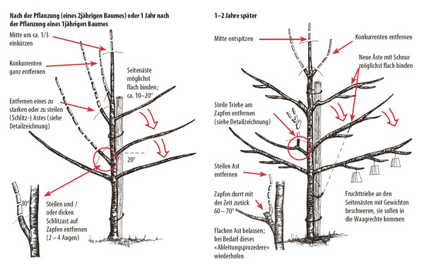 Kirschbaume Alles Uber Die Verschiedenen Sorten Und Die Pflege