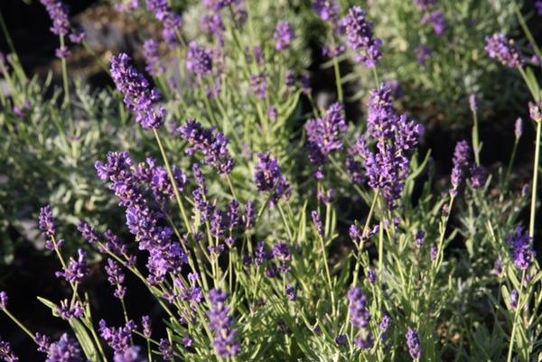 lavendel echter lavendel 39 essence purple 39. Black Bedroom Furniture Sets. Home Design Ideas