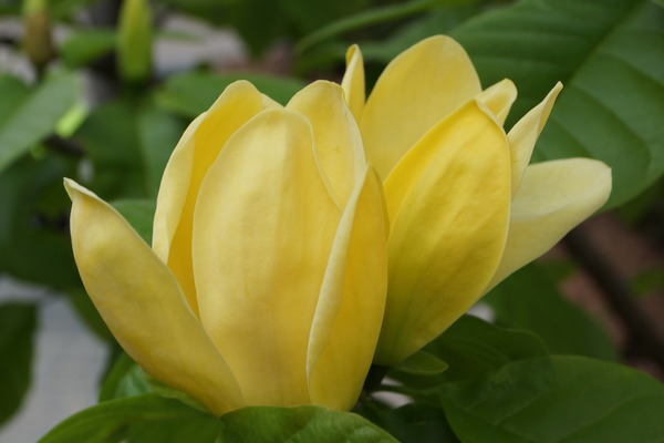 Magnolie yellow bird