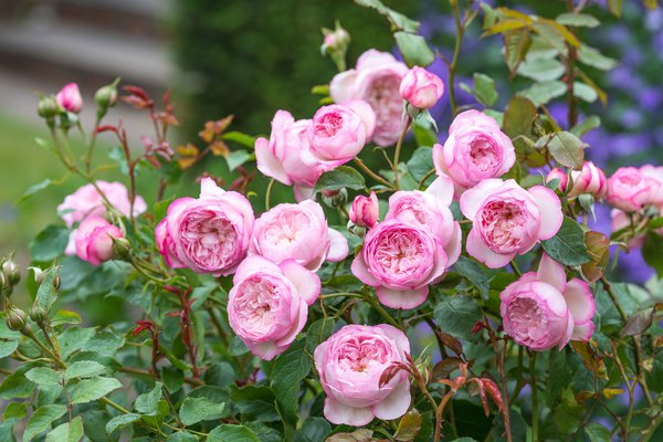 The Mill on the Floss (Austulliver) an English Shrub rose (Image courtesy of David Austin Roses)