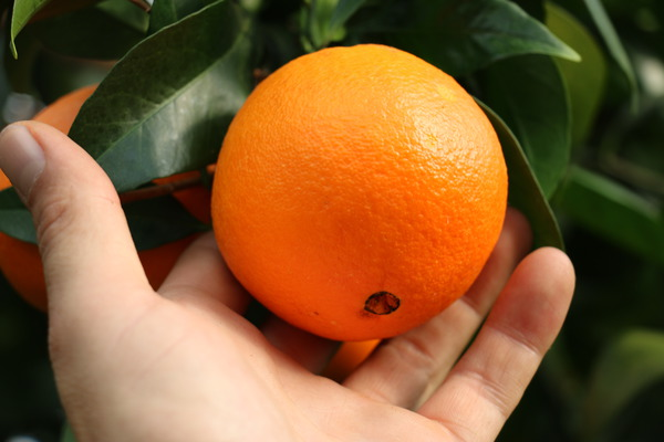 Navel-Orange 'Navelina' reife Früchte