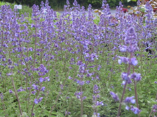 Nepeta x faassenii 'Walkers Low'