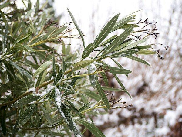 Warum Der Oleander Gelbe Blätter Bekommt