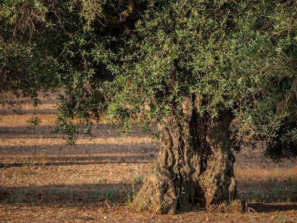 Wie Ihr Den Olivenbaum Giessen Musst Im Sommer Und Winter