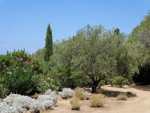 Olea europaea - der Olivenbaum, König des MIttelmeers