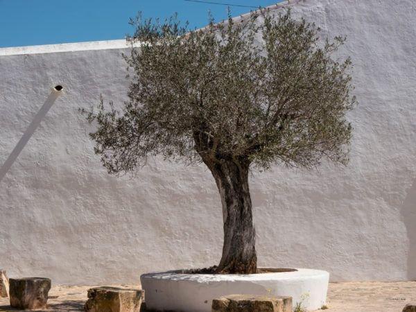 Beliebt Wann sind Olivenbäume winterhart? Standort und Olivensorten OB87