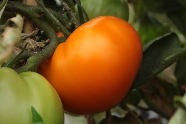 Heirloom Tomate 'Orange Wellington' (Solanum lycopersicum)