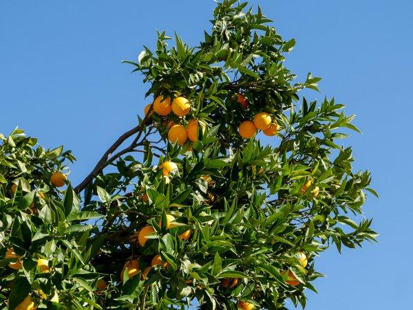Den Orangenbaumüberwintern Winterschutz und pflege ~ 26155015_Sukkulenten Überwintern Temperatur
