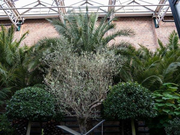 Olivenbaum Uberwintern 5 Pflegeregeln Fur Die Uberwinterung