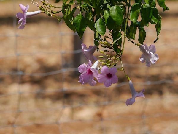 20x Pandorea jasminoides Laubenwein Garten Kletter Pflanzen Saat B29