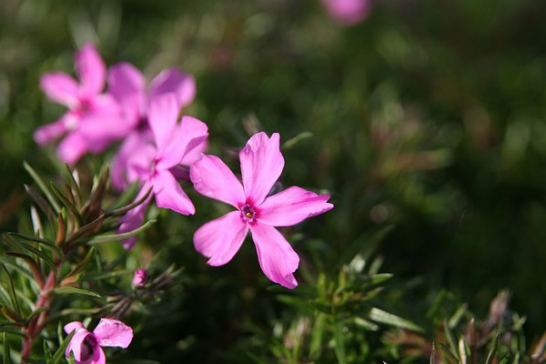Phlox subulata 'Early Spring Dark Pink'