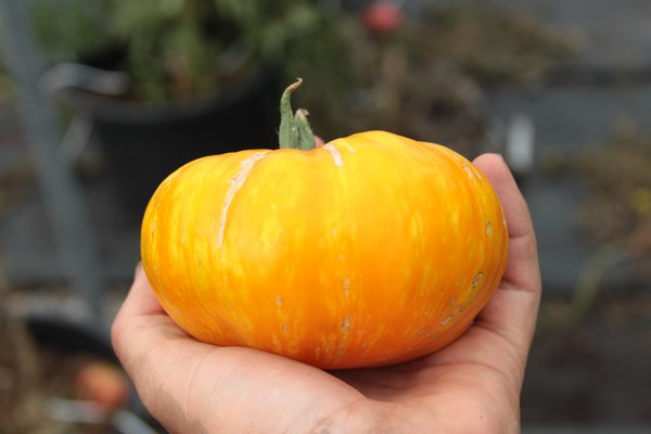 Heirloom Tomate 'Pork Chop' (Solanum lycopersicum)
