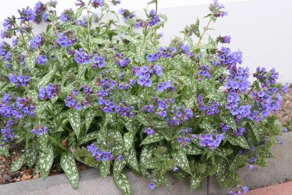 Pulmonaria saccharata 'Trevi Fountain' (S)