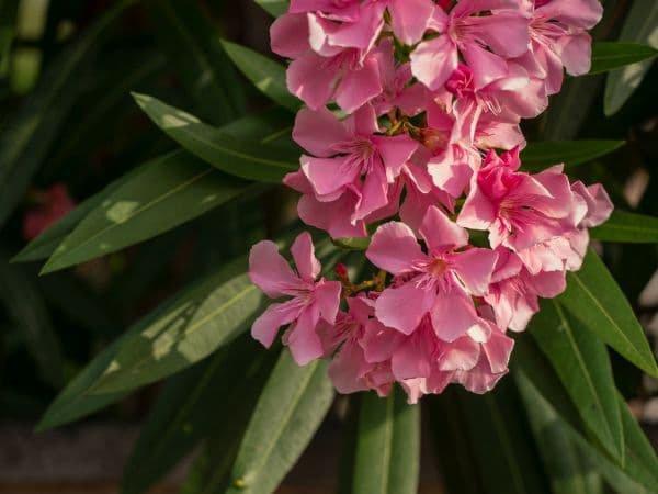 Verträgt Ein Oleander Frost? Pflegetipps Und Frostschutz