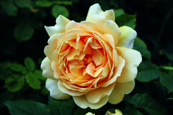 Strauchrose Golden Celebration®