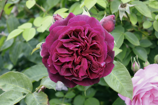 Buschrose Munstead Wood®