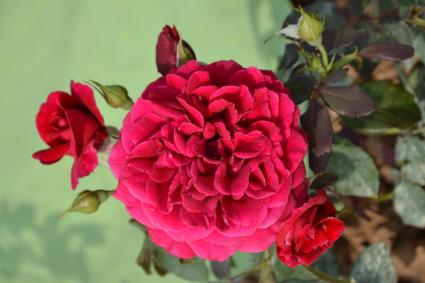 Rose Zayed of Abu Dhabi ® (im grossen Container)