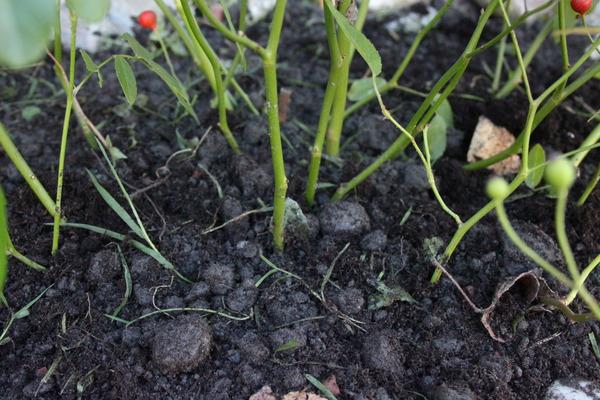 Rosen pflanzen Erde Steine Kies Sand Lubera