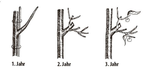 Berühmt Säulenapfel - die wichtigsten Tipps zu Pflanzung und Kultur #CR_19